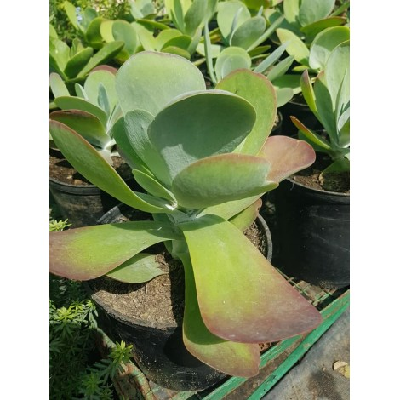 Kalanchoe thyrsiflora (الكلنكوة المورقة)