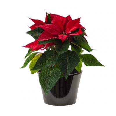 Étoile de Noël ( نجمة عيد الميلاد )