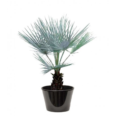 Palmier bleu (نخيل براهيا)
