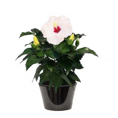 Hibiscus à fleur blanche (الخطمي ذو الزهرة البيضاء)