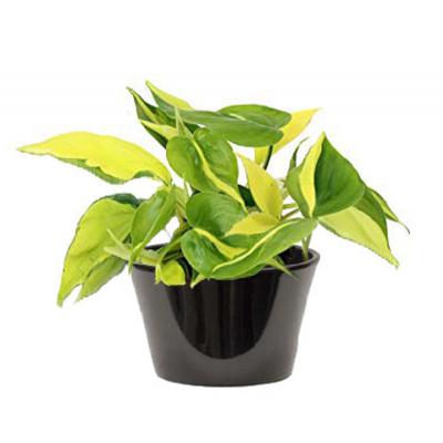 Pothos a feuilles colorées jaunes vertes (بوتس  بأوراق خضراء صفراء ملونة)