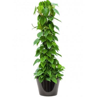 Philodendron scandens (فيلودندرون سكاندنز)