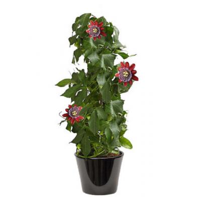 Passiflora à fleur rouge ( زهرة الآلام ذات الزهرة الحمراء)
