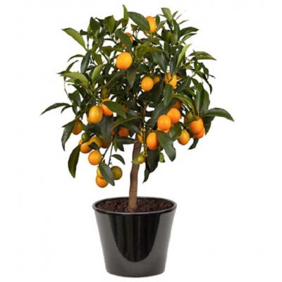Kumquat (البرتقال الذهبي)
