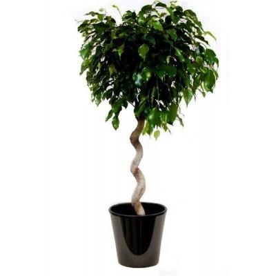 Ficus Danielle spirale