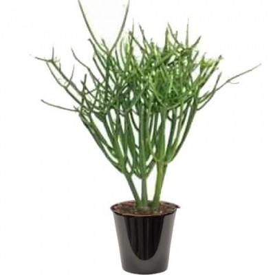 Euphorbia tirucalli (الفربيون القلمي)