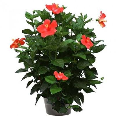 Hibiscus rosa sinensis (الخطمي الوردي)