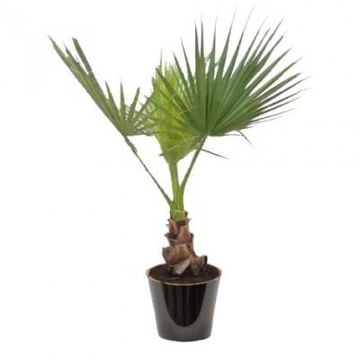 Washingtonia filifera (الواشنطونيا الخيطية)