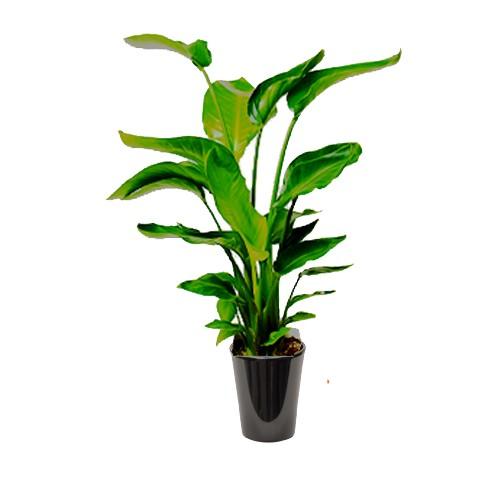 Strelitzia augusta (عصفور الجنة الأبيض)