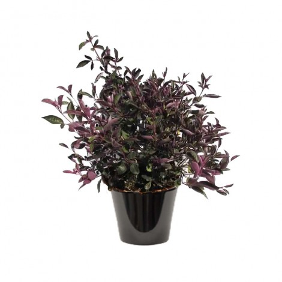 Vitex purpurea (كف مريم)