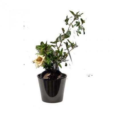 Solandra maxima (السولاندرا)