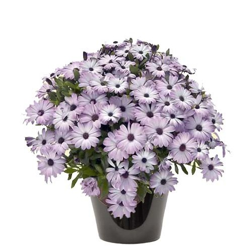 Dimorphoteca violet (زهرة الدمرفوتكة)