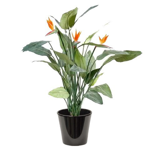 Strelitzia reginae (عصفور الجنة الملكي)