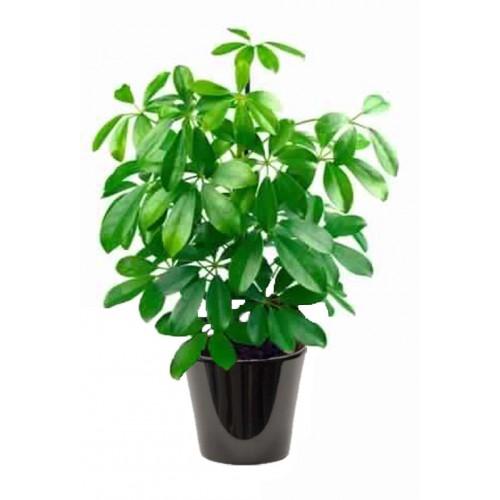 Schefflera vert (الشفليرة الخضراء)