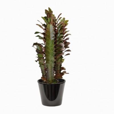 Euphorbia trigona (الفربيون الثلاثي)