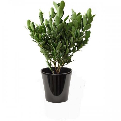 Fusain vert (المضاض الأخضر)
