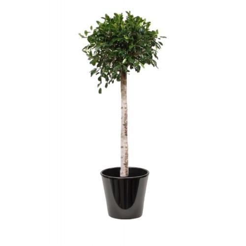 Ficus nitida (التين النيتيدي)