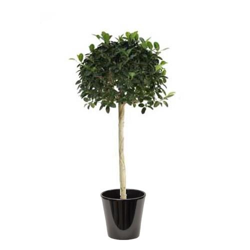 Ficus australis (التين الأسترالي)