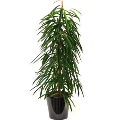 Ficus alii ('تين 'علي)