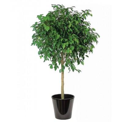 Ficus benjamina (التين البنجاميني)