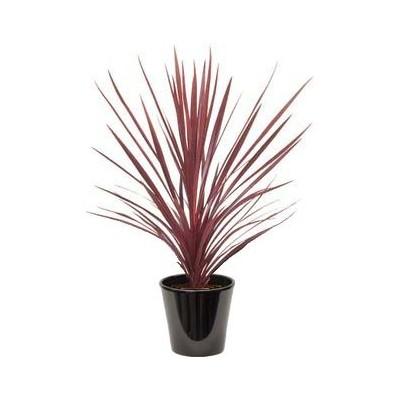 Cordyline rouge (الكورديل الأحمر)