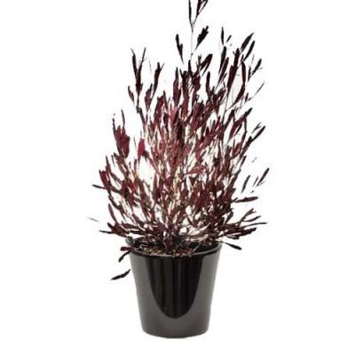 Dodonaea viscosa 'purpurea' (الدودونيا)