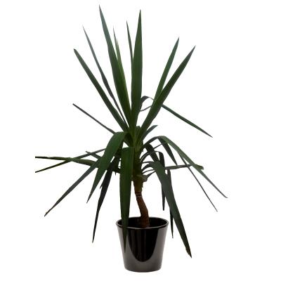 Yucca elephantipes (اليوكا)