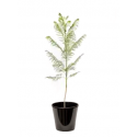 Jacaranda Mimosifolia (الجاكاراندة)