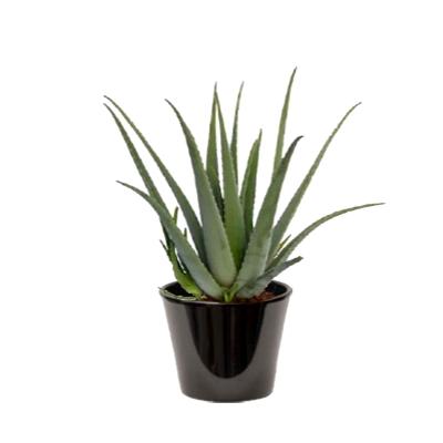Aloe vera (الألوة الحقيقية)