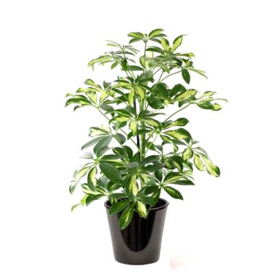 Schefflera panaché (الشفليرة الملونة)