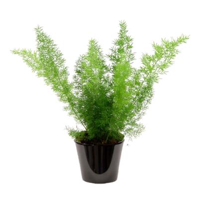 Asparagus sprengeri ('هليون 'سبرنجر)