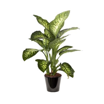 Dieffenbachia maroba (الدفنباخية)