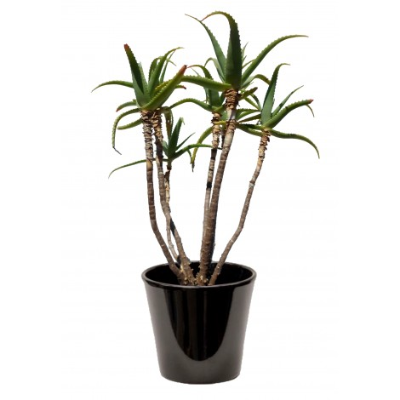 Aloe arborescens (ألوة اربورسنس)