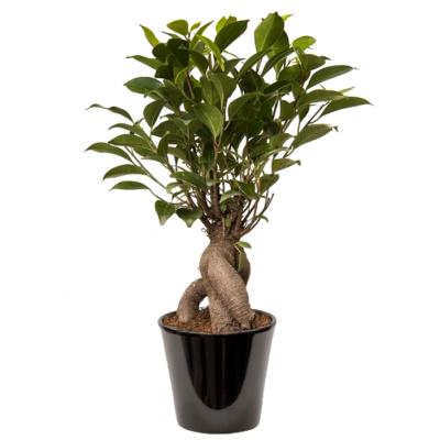 Ficus Bonsaï (التين القزم)