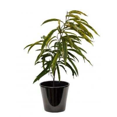 Ficus alii panaché (تين 'علي' ملون)