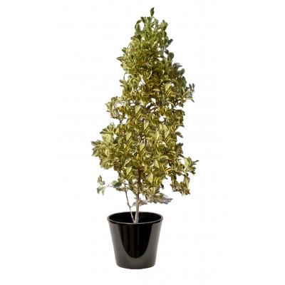 Ficus exotica (التين الإكزوتيكي)