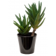 Aloe brevifolia (ألوة بريفيفوليا)