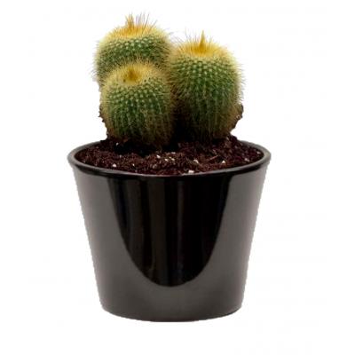 Cactus cereus (الصبار الشمعي)