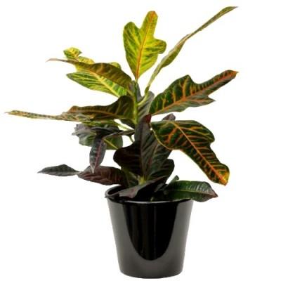 Croton (الكروتون المتباين)