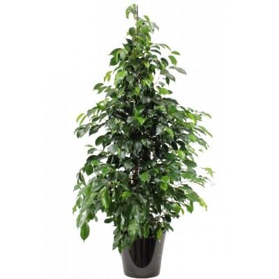 Ficus benjamina 'Danielle' (تين دانيال)