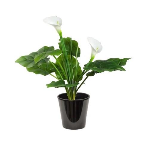Arum zantedeschia (أذن الفل البيضاء)