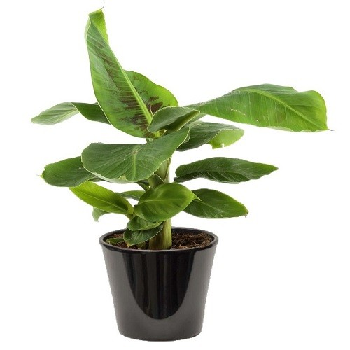 Musa banana (الموز الأخضر)