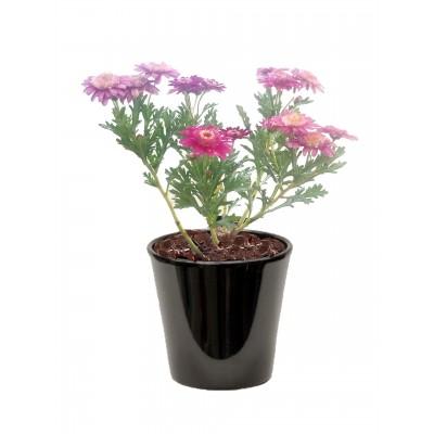 Anthemis frutescens (الأربيان الوردية)