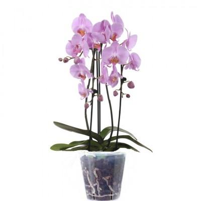 Orchidée (زهرة الأوركيد)