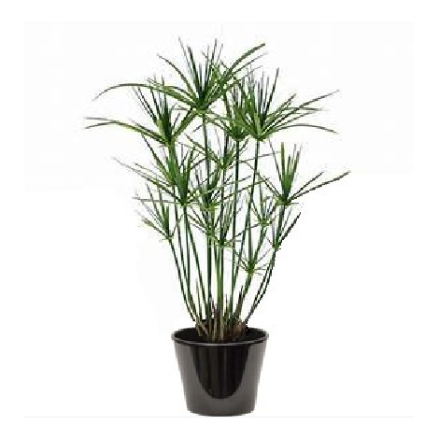 Cyperus papyrus (السعد الورقي)
