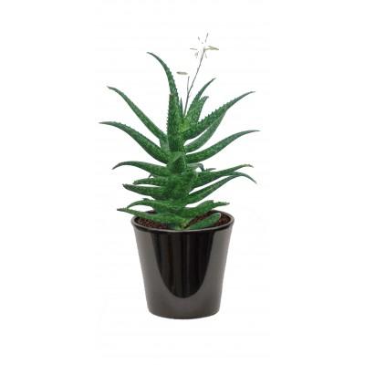 Aloe jucanda