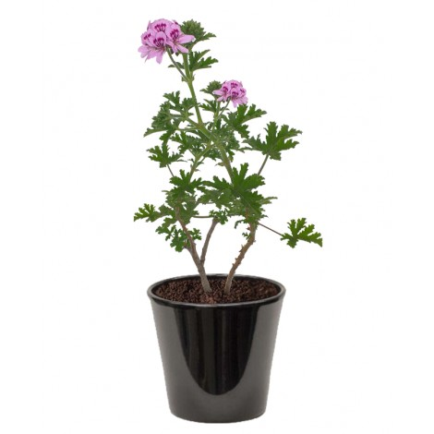 pelargonium peltatum (عطرشية)