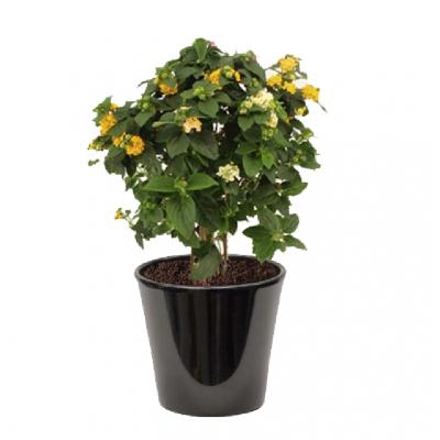 Lantana camara jaune ( اللانتانا الصفراء )