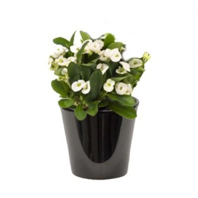 Euphorbia milii blanc