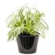 Carex panaché  (سعادي ملون)